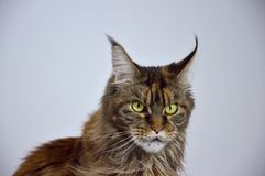 Cat Maine Coon with long beautiful tassels on the. Beautiful cat Main Coon on white background Royalty Free Stock Image