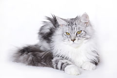 Beautiful cat, Maine Coon Royalty Free Stock Photography