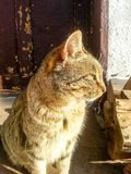 Cat. Beautiful cat near a wooden door Royalty Free Stock Photo