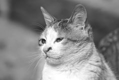 Beautiful cat picture. Beautiful potrait of a domestic cat in black&white Stock Photography