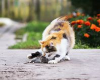Beautiful  cat playing with a caught mouse running around and to. Beautiful fluffy cat playing with a caught mouse running around and tossing her Royalty Free Stock Photo
