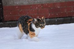 A beautiful cat is playing and running in snow. Domestic animal frolic with herself. It snows. Green eye stock image