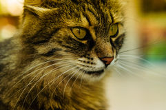 Beautiful Cat Portrait Royalty Free Stock Photography