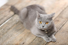 Beautiful cat portrait, close-up view. Cute British Shorthair kitten sitting in studio, photo shooting on a wooden background, orange eyes royalty free stock photo