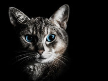 Beautiful cat portrait. Closeup portrait of beautiful cat with blue eyes  on black background Royalty Free Stock Image