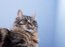 Beautiful cat posing Royalty Free Stock Photo