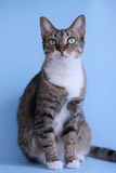 Beautiful cat posing. Cat with beautiful eyes posing and looking forward Royalty Free Stock Photography