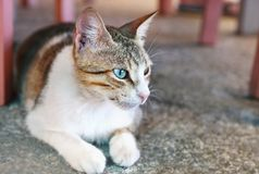 Beautiful cat profile with blue eyes Stock Images