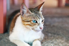 Beautiful cat profile with blue eyes Royalty Free Stock Photo