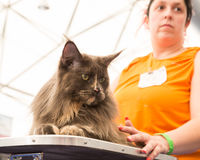Beautiful cat at Quattrozampeinfiera in Milan, Italy Royalty Free Stock Images