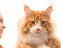 Beautiful cat at Quattrozampeinfiera in Milan, Italy Royalty Free Stock Image