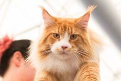 Beautiful cat at Quattrozampeinfiera in Milan, Italy Stock Photography