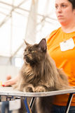Beautiful cat at Quattrozampeinfiera in Milan, Italy Royalty Free Stock Photos