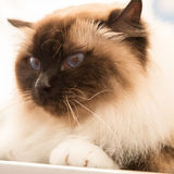 Beautiful cat at Quattrozampeinfiera in Milan, Italy Royalty Free Stock Photography
