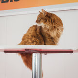 Beautiful cat at Quattrozampeinfiera in Milan, Italy Stock Images