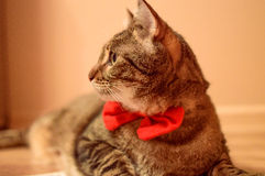 Beautiful cat with red bowtie. Beautiful home cat, real gentleman. Ideal for commercials - cat food, supplies etc Stock Images