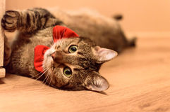 Beautiful cat with red bowtie. Beautiful home cat, real gentleman. Ideal for commercials - cat food, supplies etc Stock Photos