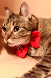 Beautiful cat with red bowtie. Beautiful home cat, real gentleman. Ideal for commercials - cat food, supplies etc Royalty Free Stock Image
