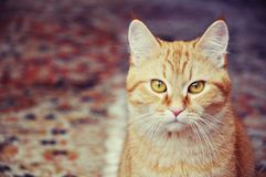 Beautiful cat. Beautiful red color cat with big yellow eyes Royalty Free Stock Photos
