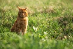 Beautiful cat with red fur in tall grass. Cat is sitting in the grass and looking to the camera stock photography
