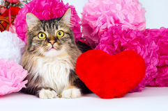 Beautiful cat with a red heart on the background of bright color Stock Image