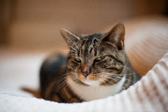 Beautiful cat resting on a white blanket. A beautiful tabby cat is lying on a white blanket. Its eyes are half closed as if it is purring royalty free stock photo