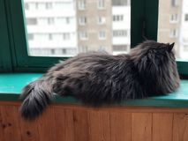 Beautiful cat resting on the windowsill. Black fluffy cat lies on the windowsill. Black cat looks out the window Stock Images