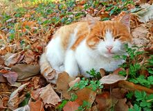 Beautiful cat rests on some autumn leaves. A beautiful brown and white cat that rests on nature stock images