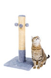 Beautiful cat with scratching post royalty free stock image