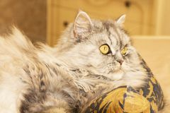 Beautiful cat shows tongue Beautiful fluffy cat with yellow eyes royalty free stock photo