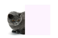 Beautiful cat sitting behind a banner on a white background Stock Image