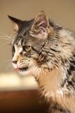 Beautiful cat sitting Stock Photography