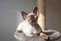Beautiful kitten is sitting on the scratching post and enjoying the warmth of sunlight. Devon rex kitten with blue eyes. Cat is sitting near the window. Pet Royalty Free Stock Image