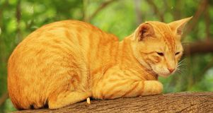 The Lazy cat sitting on Tree Branch. Beautiful Cat sitting on a Tree Branch. Very Lazy in the park Stock Images