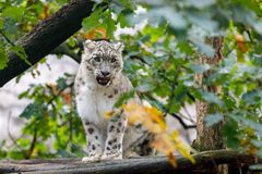 Beautiful cat snow leopard, Uncia uncia. Very beautiful cat snow leopard, Uncia uncia resting on tree Stock Image