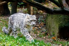 Beautiful cat snow leopard, Uncia uncia. Very beautiful cat snow leopard, Uncia uncia walk Royalty Free Stock Photo