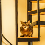 Beautiful cat standing in the kitchen. Beautiful grining cat sitting in the kitchen on a spiral staircase Royalty Free Stock Photography