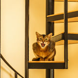 Beautiful cat standing in the kitchen. Beautiful growling sitting cat in the kitchen on a spiral staircase Royalty Free Stock Photography