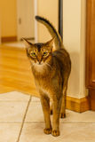 Beautiful cat standing in the kitchen. On tile Stock Photos