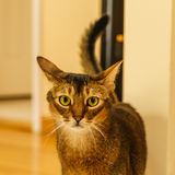 Beautiful cat standing in the kitchen. On tile Stock Images