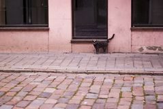 A beautiful cat stands near a pink town house, an old, peeling paint at home, a gray color cat. royalty free stock image