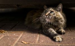Beautiful cat staring up while laying under a car royalty free stock photos