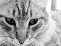 White and black cat picture royalty free stock image