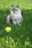 Beautiful cat & tennis ball. Beautiful cat that won't fetch Royalty Free Stock Photography
