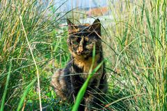 Beautiful cat, unusual tortoiseshell color, hiding in the thick grass. royalty free stock photography