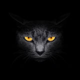 Beautiful cat. View from the darkness. Muzzle a cat on a black background Stock Images