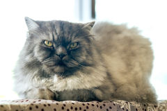 Beautiful cat Royalty Free Stock Photography