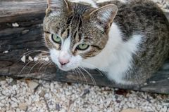 Beautiful cat waiting for something. Beautiful cat with disturbing eyes in front of the camera Royalty Free Stock Images