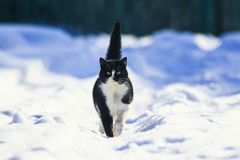 Beautiful cat walks along the white fluffy snow in the winter ya Royalty Free Stock Photography