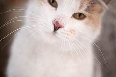Beautiful cat. A beautiful white cat looking lovely Royalty Free Stock Photos